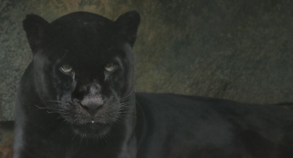 jaguar Mowgli  artis 094A0524