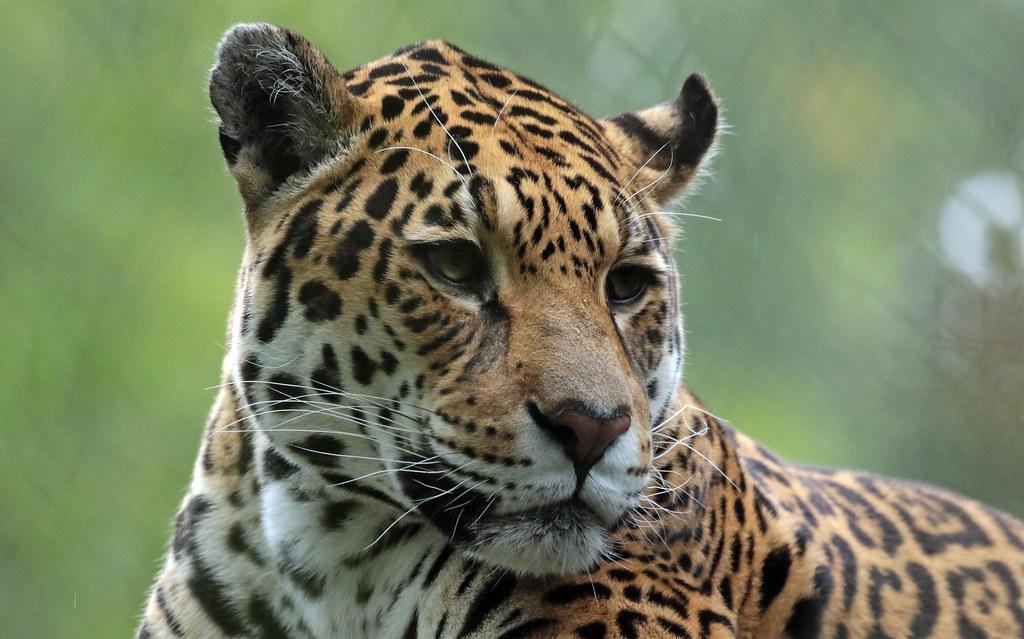 jaguar rica artis 094A0518