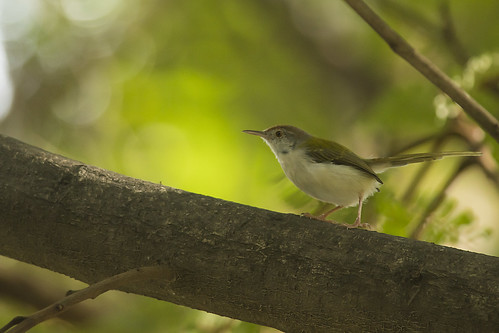 Common Tailorbird | by as_kannan