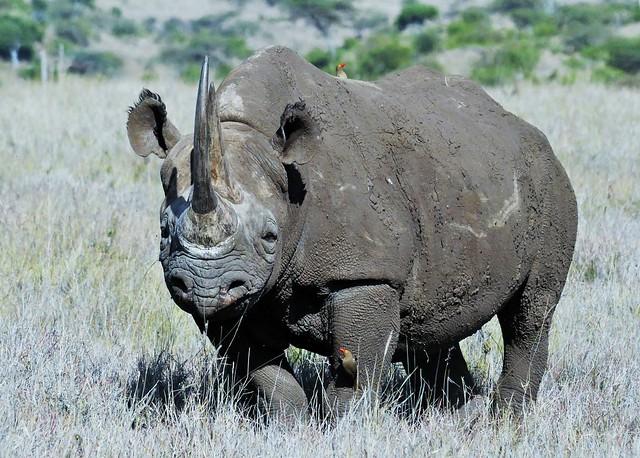 Black Rhino (Diceros bicornis)