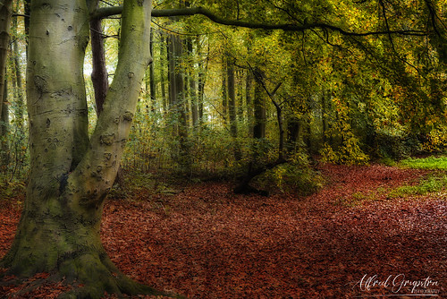 Under The Old Beech Tree