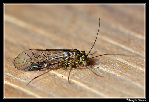 Mesopsocus sp. mâle