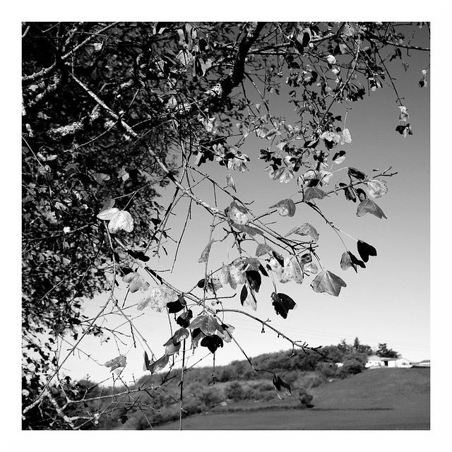 Quercy Leaves #4