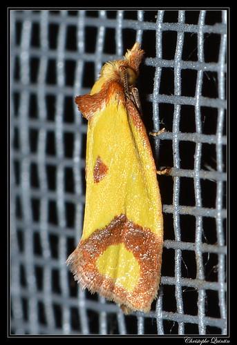 L'euxanthie de la Scabieuse (Agapeta zoegana)