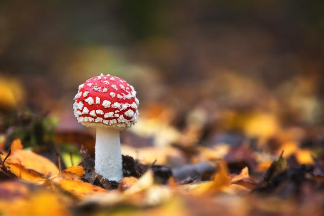 Fly Agaric Mushroom