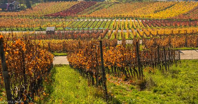 Weinberge im Herbstlaub