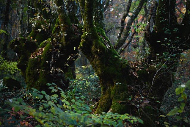 Mossy stem of beech trees