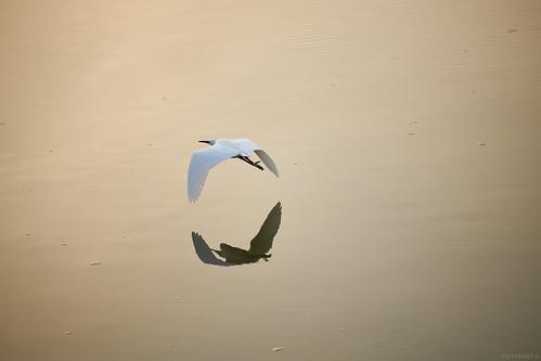 canoneosr rf70200mm reflection littleegret nature birds leighonsea