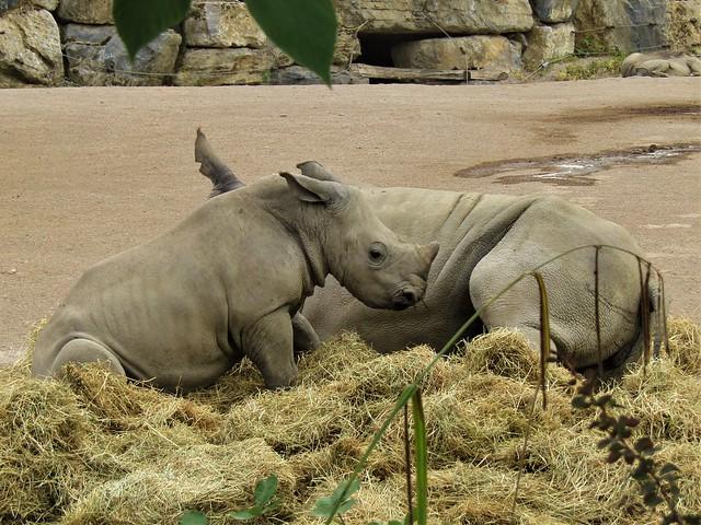 Rhinos in Pairi Daiza in Brugelette, Belgium