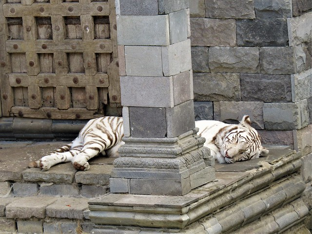Tiger sleeping on temple in Pairi Daiza