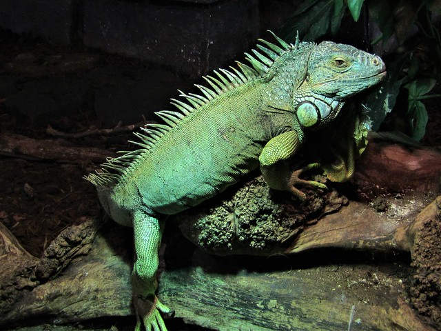 Iguana in the most beautiful zoo en Europe, Pairi Daiza