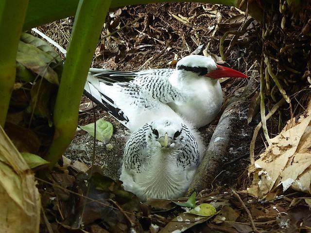 Red-billed Tropicbird (Phaethon aethereus mesonauta).