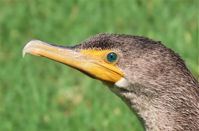 The Eye of a Double-crested Cormorant Huntington Beach Central Park