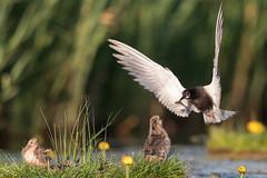 Black Tern feeding chicks (Chlidonias niger) Zwarte stern