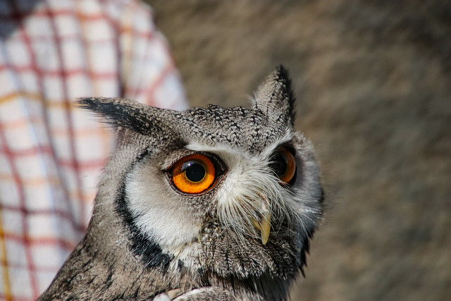White-faced Owl on the Royal Mile in Edinburgh