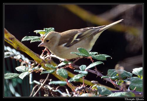 Pinson des arbres (Fringilla coelebs) femelle