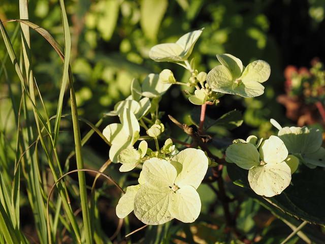 Hydrangea paniculata 'Diamant Rouge'