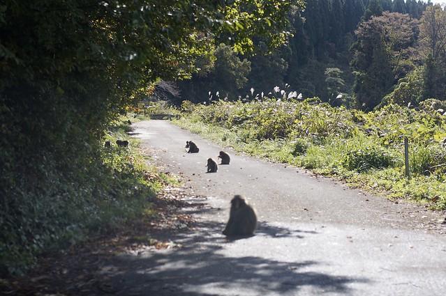 日本猿の群れ