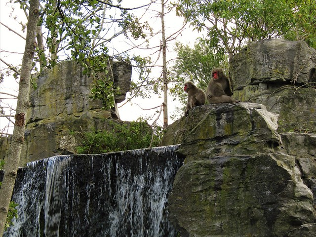 Japanese macaque in Pairi Daiza