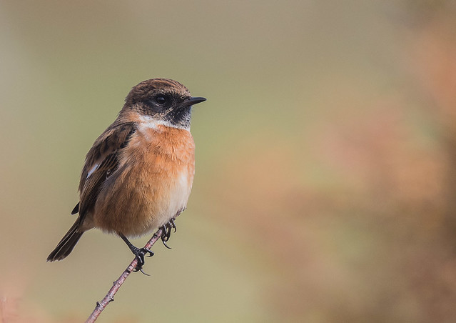 Stonechat male. Sharper's Head, near Prawle Point, on the south Devon coast path. DSC_5822.jpg