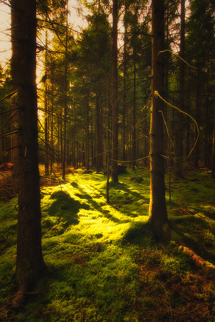 Sunrise in Forest