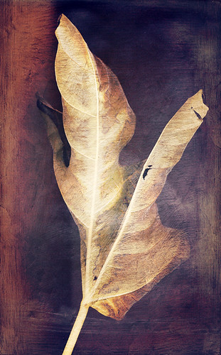 scan of big-leafed Rogersia in the fall in the photo app Stackables