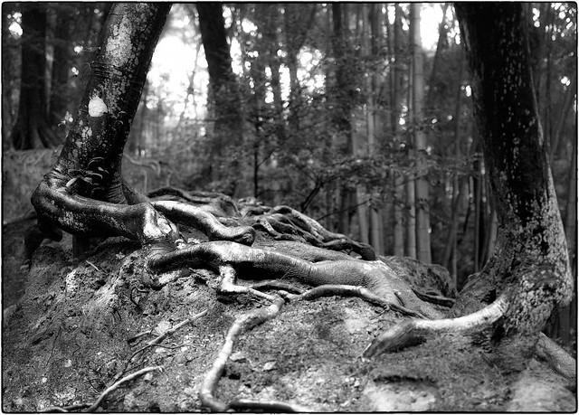 Les 2 arbres frères, enlacés à la vie à la mort