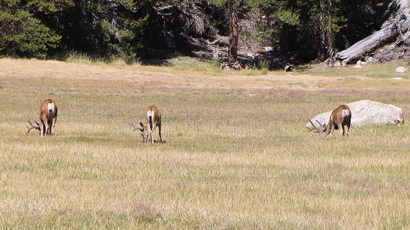 Zoomed-in view of three young bucks with antlers grazing in Crabtree Meadow