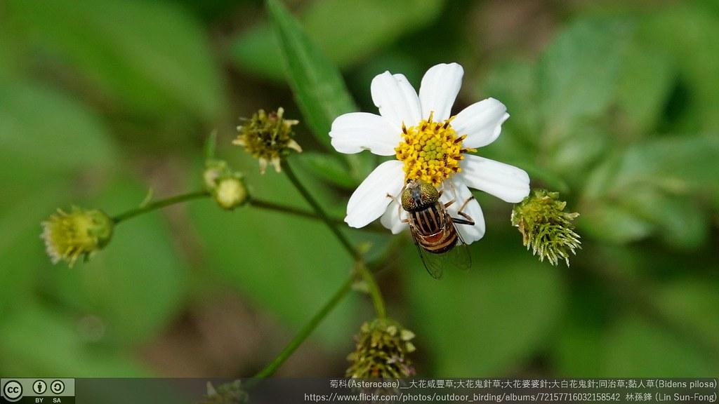 菊科(Asteraceae)_大花咸豐草;大花鬼針草;大花婆婆針;大白花鬼針;同治草;黏人草(Bidens pilosa)