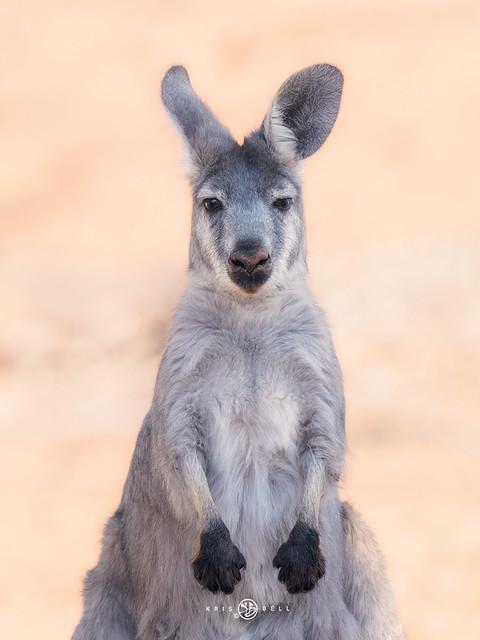 Common Wallaroo (Macropus robustus)