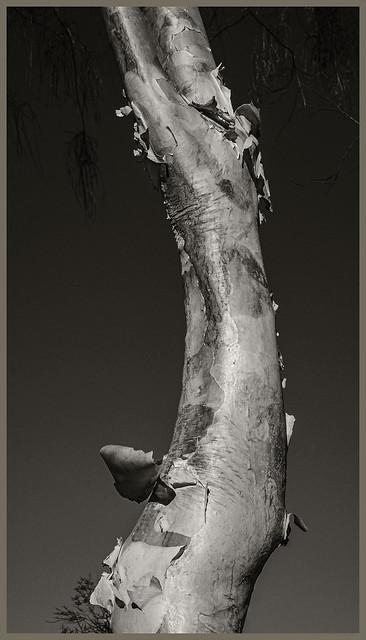 Tohono Chul #11 2020; Eucalyptus