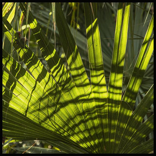 Lake Woodruff #6 2020; Sabal Palm Frond
