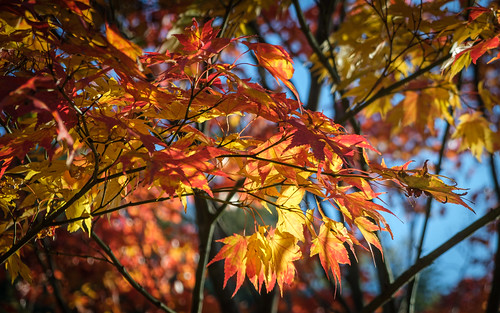 Autumn Maple Leaves | by ep_jhu
