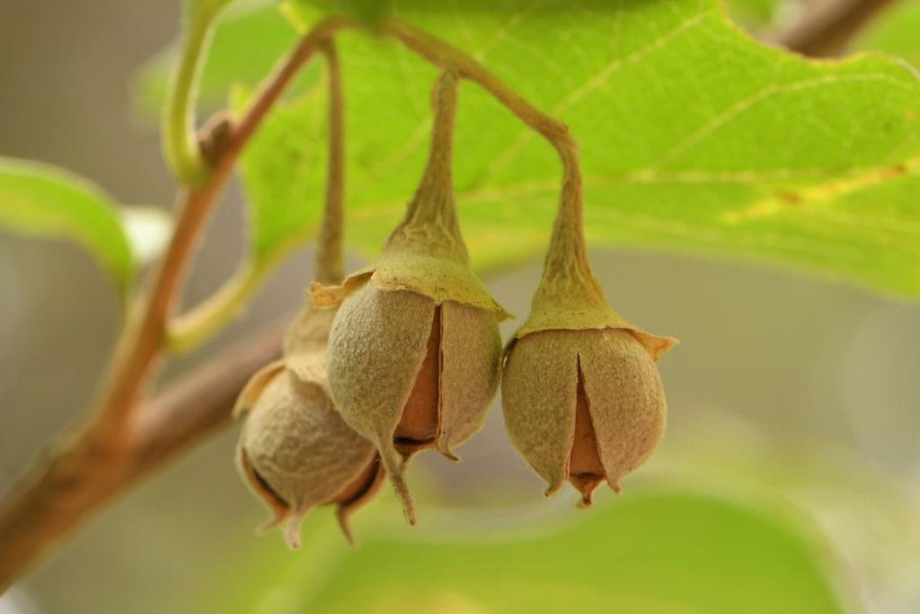 Ripe nuts of native Snowdrop Bush (Styrax redivivus)