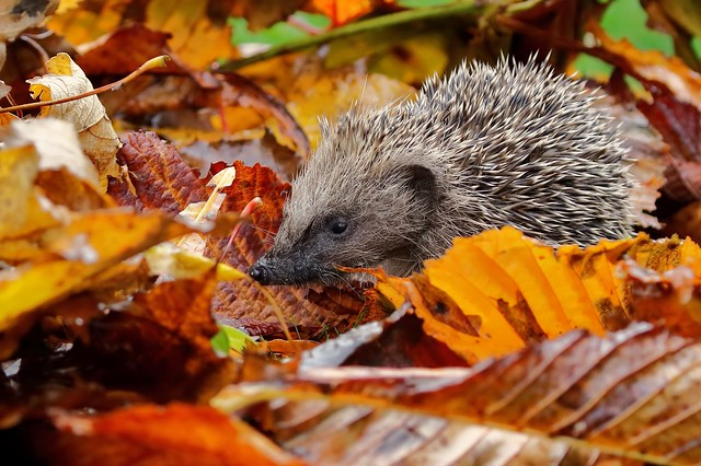 Garden Hedgehog (Erinaceus europaeus)