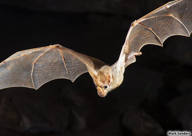 Macroderma gigas (Ghost Bat)