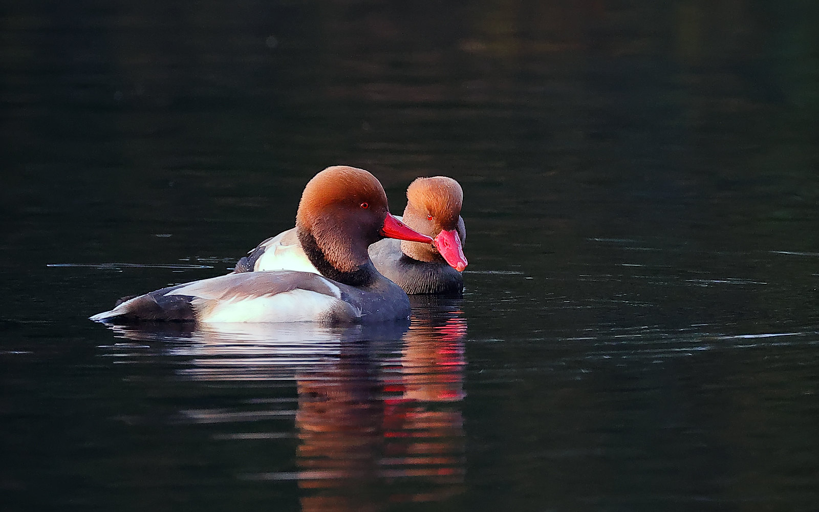 Red Crested Pochard - Feral escape