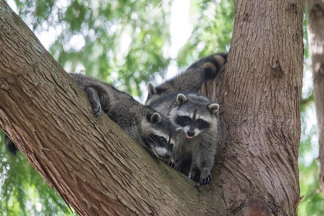 Raccoon meeting