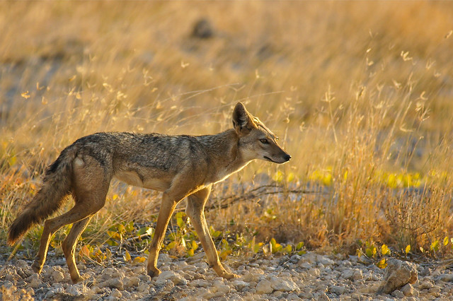 Black-backed Jackal in Shaba