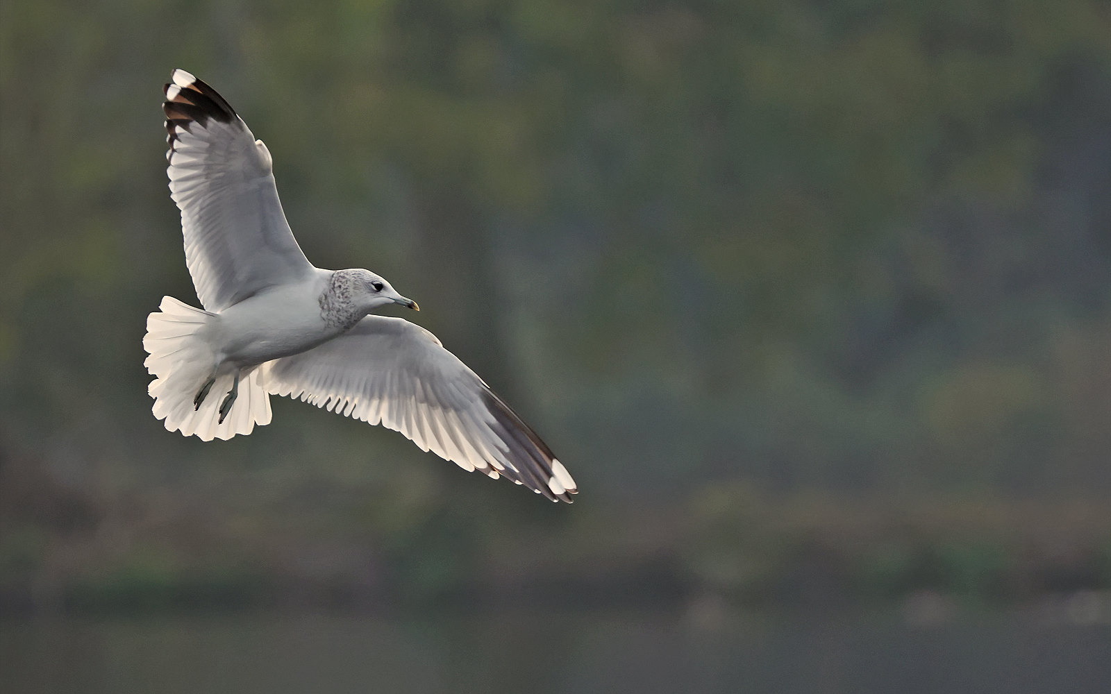 Common Gull - adult winter