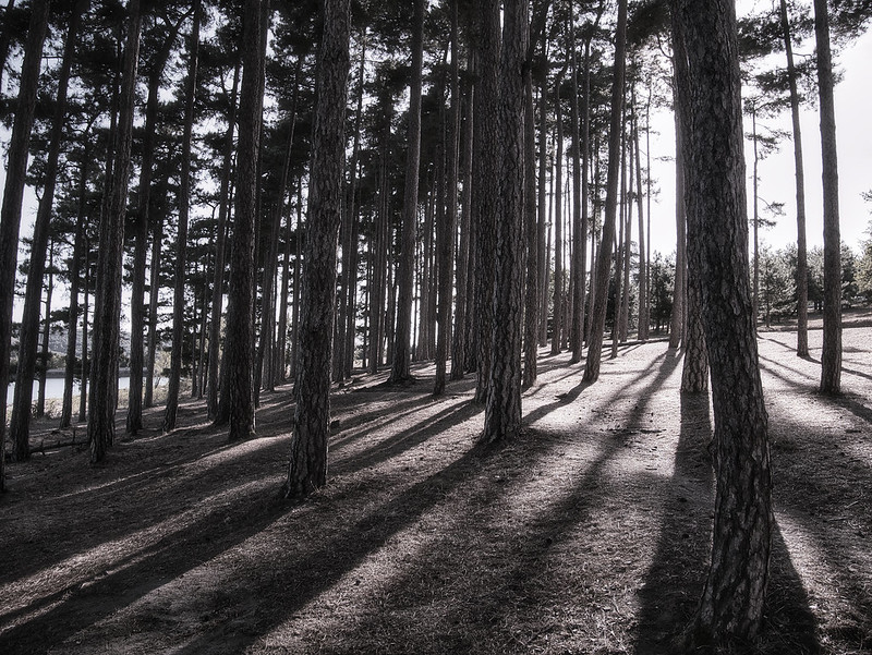 Les pins de St Ferréol 50583502588_cdcb07201b_c