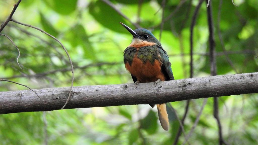 Arirambinha - Rufous-tailed Jacamar
