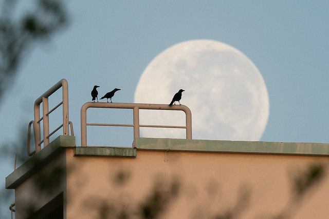 Crows against the morning moon