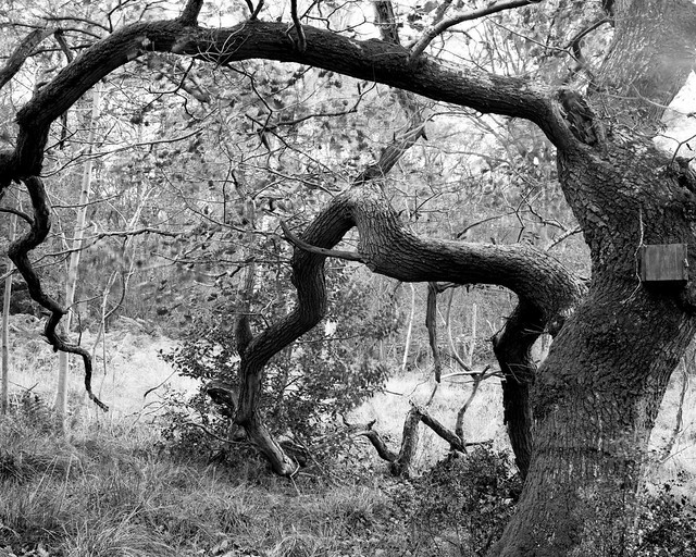 Hyons Wood, Walker Titan SF with Rodenstock  150mm, Ilford Ortho + in HC110