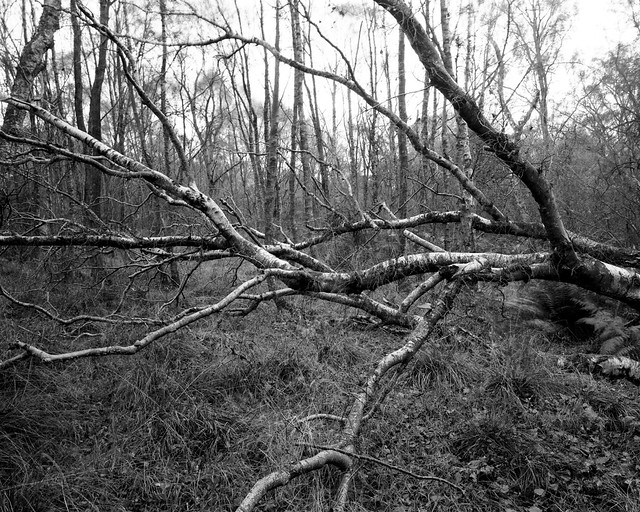 Hyons Wood, Walker Titan SF with Nikkor 90mm, Ilford Ortho + in HC110