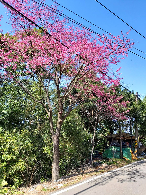 Mt. Yuan to Daxi: cherry blossom on the trail from Sanxia to Daxi