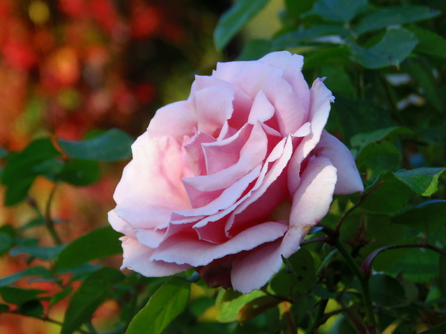 My Favorite Perfume Rose for You