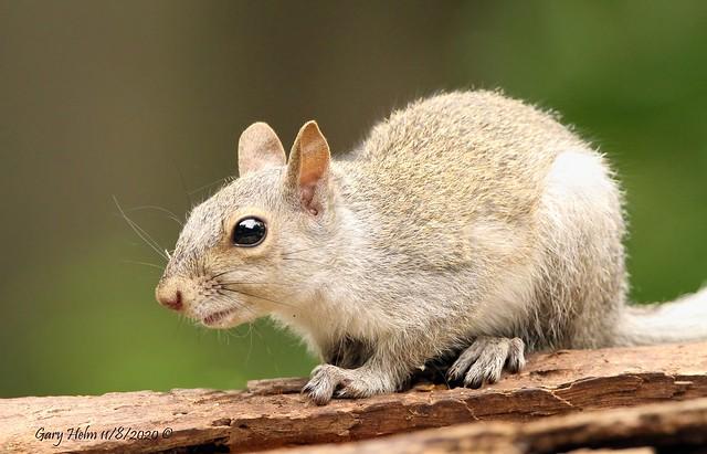 Leucistic Eastern Gray Squirrel