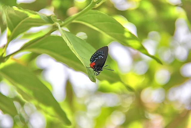Coontie hairstreak butterfly.
