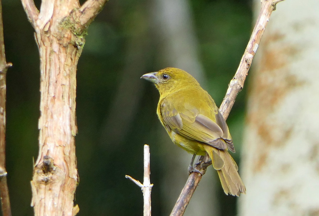 Piranga Bermeja de Montaña, Highland Hepatic Tanager (Piranga flava)